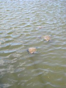 Walking on the dock at Lone Elk Park to see a turtle.  Suddenly, like a bad Hitchcock film turtles popped up all around us - no less than 20, including a rare and endangered Alligator Snapping turtle!