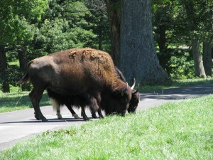 where we saw bison...