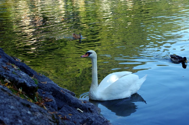 After our hour long hike back down the mountain we were greeted by this swan.